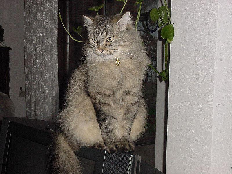 velká hladká kočička