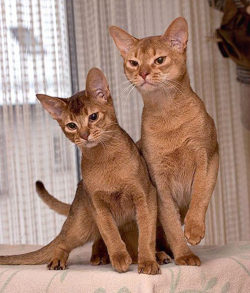 Koupím kocourka mainské mývalí kočky - tmavé mramorování bez pp.
